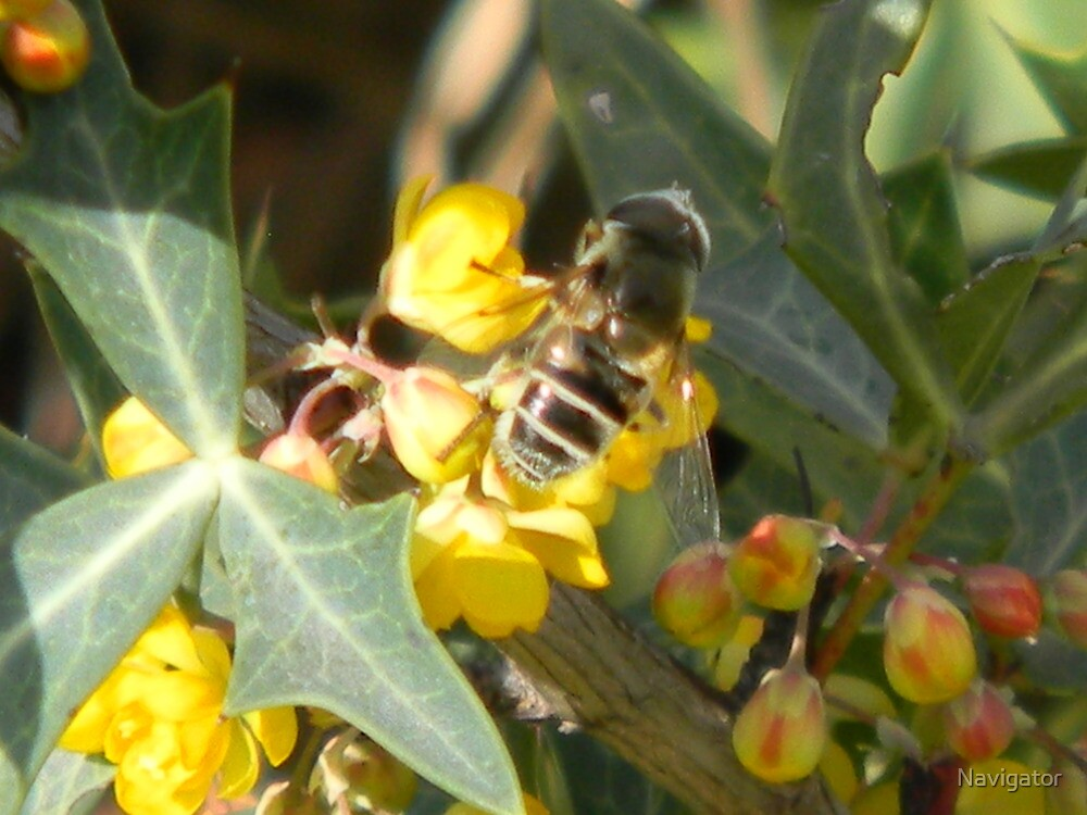 A Different Bee on Agarita by Navigator
