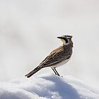 Horned Lark Portrait by Thomas Young