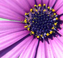 Purple Daisy Flower With Yellow Pollen Closeup / Macro by Erik Anderson