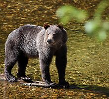 Grizzly Bear - Knights Inlet by Paul Duckett