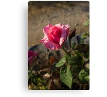 Spring Glow In Pink - a Sweetheart Rosebud With Dewdrops Canvas Print