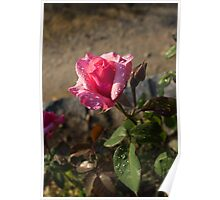 Spring Glow In Pink - a Sweetheart Rosebud With Dewdrops Poster