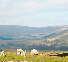 Sheep in the Yorkshire Dales by photoeverywhere