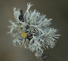 Oakmoss Lichen (Evernia prunastri) by Robert Carr