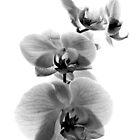 Fragile Beauty Black And White by MSRowe Art and Design