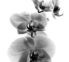 Fragile Beauty Black And White by SRowe Art