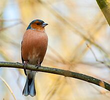 CHAFFINCH 2.. by buddybetsy