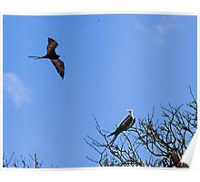 Frigate birds on the Galapagos Poster