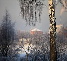 birch tree in winter by mrivserg