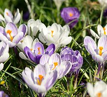 Purple & White Crocuses by lmaiphotography