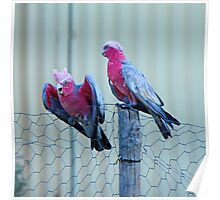 Galahs on a Fence Poster