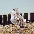 Herring Gulls by Martin Kirkwood (photos)