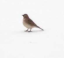 Snowbird by James Brotherton