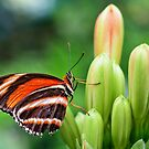 striped butterfly by Manon Boily