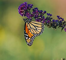 Monarch Butterfly on Purple Flower by Allison Ostertag