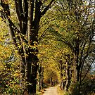 Walking on an old lime-tree lane by jchanders