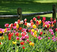 Tulips in the Country by LisaThomasPhoto