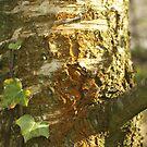 Birch bark  by millymuso