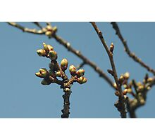 Spring Buds Photographic Print
