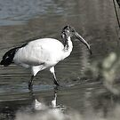 African Sacred Ibis by Warren. A. Williams