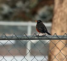Robin on the Fence by Keala