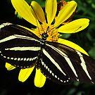 Zebra Butterfly on Yellow by lorilee