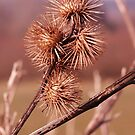 A group of thistle heads by millymuso