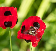 Two Poppies by dilyst