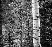 The Birch by ZachKracht