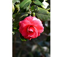 Pink Camelia bloom Photographic Print