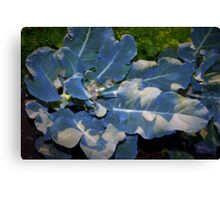 Newly trimmed broccoli Canvas Print