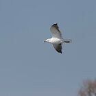 Great Black-backed Gull In Flight 1 by Thomas Young