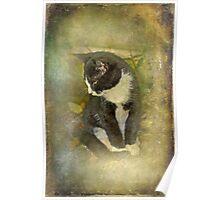 Tuxedo Cat Wearing Spats Poster