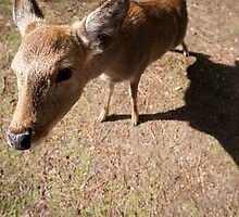 nara deer by photoeverywhere