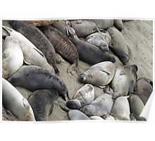 beach covered in seals Poster