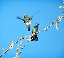 Broad-billed Hummers by Judy Grant