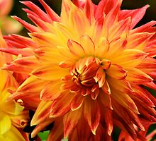 Dahlia of the Locks by Sue Morgan