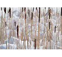 Cattails in snow Photographic Print