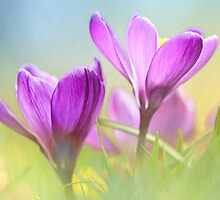 Gorgeous Crocuses by Bob Daalder