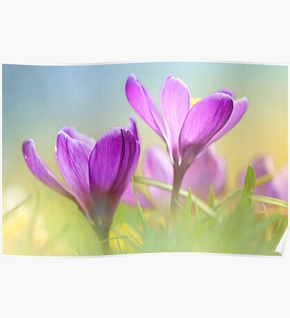 Gorgeous Crocuses Poster