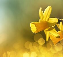 Awakening Daffodils by Bob Daalder