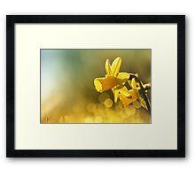 Awakening Daffodils Framed Print
