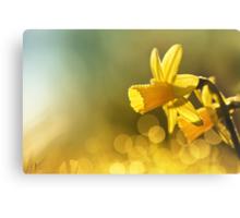 Awakening Daffodils Canvas Print