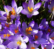 Honey Bee on Purple Crocus by artbybutterfly