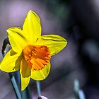 First of the Spring daffodils by Paul Madden