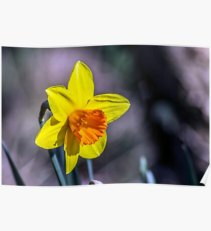 First of the Spring daffodils Poster