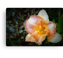 Peach daylily Canvas Print