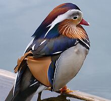 Male Mandarin Duck Perching On Submerged Plank by Menega  Sabidussi