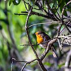 Robin in the trees by Paul Madden