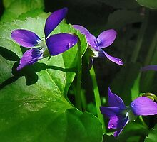 Wild Violets by Nadya Johnson
